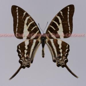 アリステウスオナガタイマイ♂ (ラオス) Graphium aristeus hermocrates