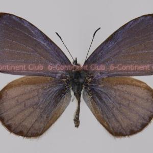 アリサンルリシジミ♂ (台湾) Celastrina oreas arisana