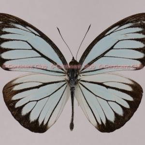 アサギシロチョウ♂ (ボルネオ) Pareronia valeria lutescens
