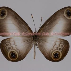 セレベスイワヒバジャノメ♂ (スラウェシ) Acrophtalmia leuce leuce
