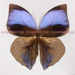 オオムラサキトガリバワモンチョウ♂ (マレー半島) Zeuxidia aurelius aurelius