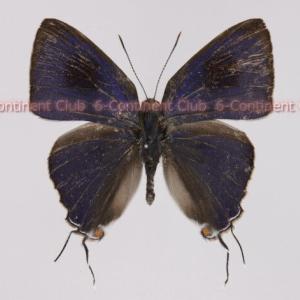 オスルリフタオシジミ♂ (ラオス) Hypolycaena erylus himavantus