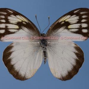 レインワルティメスシロキチョウ♀ (バリ) Ixias reinwardti baliensis