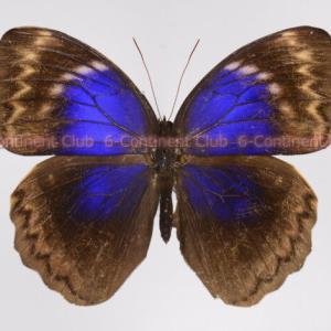クルギウスルリワモン♀ (ボルネオ) Thaumantis klugius lucipor