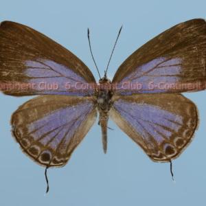 ルリウラナミシジミ♀ (台湾) Jamides bochus formosanus