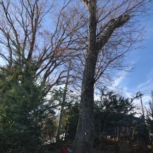 コナラ、山桜伐採(最終)  A-corn trees and wild cherry trees felling