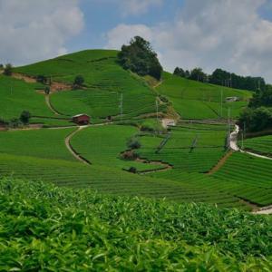 石寺の茶畑 ~京都府景観資産の第1号に登録された名景~