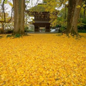 広徳寺 (あきる野市)の大銀杏 ~境内に広がる金色の絨毯~