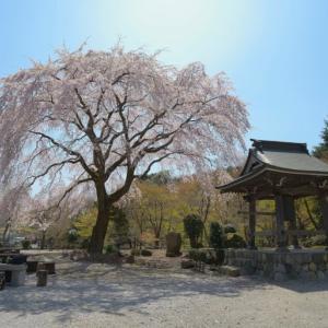 雲居寺の枝垂れ桜 ~津久井の古刹に咲く枝垂れ桜の名木~