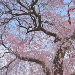 梅岩寺 ~青梅市を代表するしだれ桜を見られる古刹~