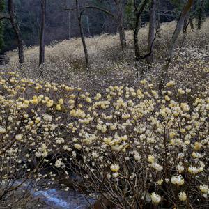 虫居谷でミツマタの群生を見てきました。