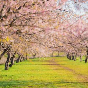 坂戸北浅羽桜堤公園の桜並木