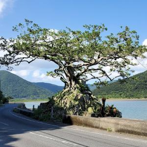 石を抱くと言うより、岩を抱え込んだ「石抱きガジュマル」【奄美大島旅行記㉝】