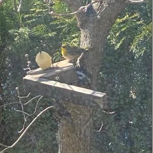 春を告げる鳥 メジロ