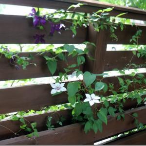 木製ウッドデッキ・フェンスに絡むクレマチス。