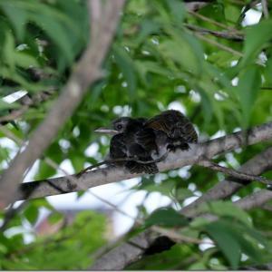 アオダモの枝にひな鳥。