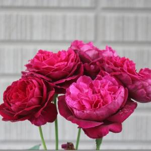 今朝の薔薇。 夏の薔薇。