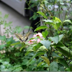 庭を舞うアゲハ蝶。