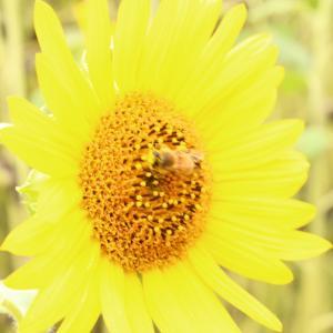 ひまわり・向日葵・Sunflower