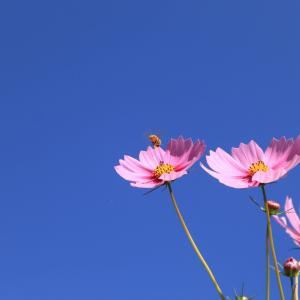 秋の花 【秋桜・コスモス】