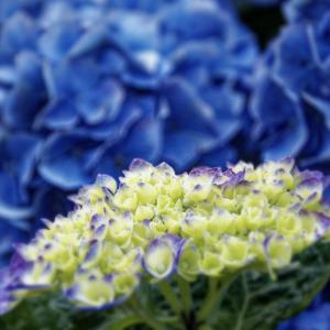 紫陽花 Day 1