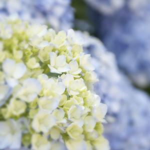 紫陽花 Day3