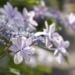 紫陽花 Day5