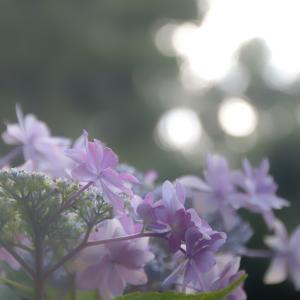 紫陽花 Day8