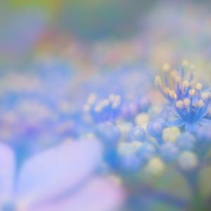 紫陽花 Day9
