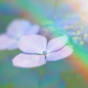 紫陽花 Day10