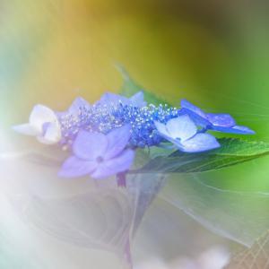紫陽花 11