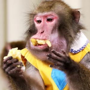 サルの檻を壊して、70頭いたサル全部を逃がした高校生を逮捕。千葉県富津市の高宕山自然動物園
