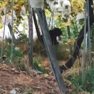山形県のブドウ農園にクマ。動画を撮影した男性「シャインマスカットを口にくわえたクマと5秒間くらい目が合った」