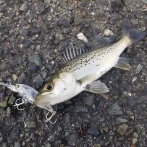 【釣行 11月30日】意地でもLGシャッドで釣ったるわ!
