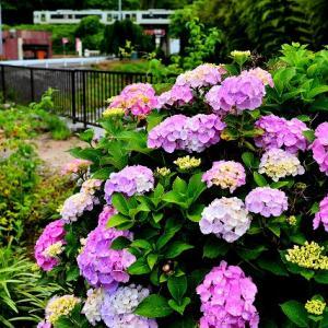 雨の中の紫陽花と東線車両