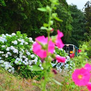 立葵、紫陽花、列車、三密❔