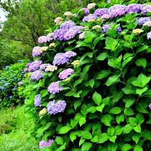 水郡線と紫陽花