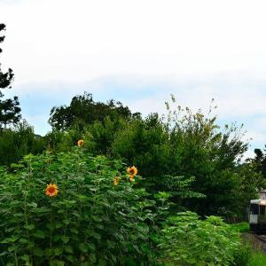 紫陽花から向日葵へ