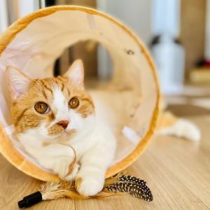 【猫学】マンチカンの購入価格や相場は?わがやの事例もシェアします。