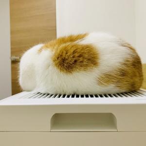 【猫学】猫アレルギーでも猫と暮らせる?猫アレルギーの夫と暮らすわがやの事例をご紹介。