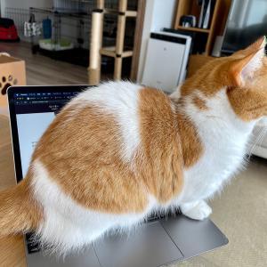 忙しなくご飯を食べながらパソコンを開く飼い主を阻止してくれる優しい愛猫。