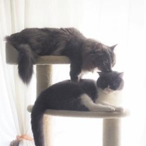 眠りたい猫と遊びたい猫 おしゃれキャットタワーでイチャイチャの巻
