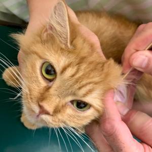 ⚠️閲覧注意⚠️新猫の耳掃除と健康診断でびっくり仰天な事が起きた件で