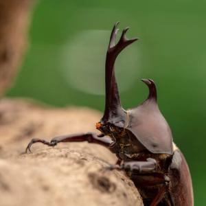 カブトムシの一生とスケージュール・これさえ知っていれば安心!