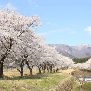 【勝山市の桜名所】荒土、細野・細野口皿川の桜並木