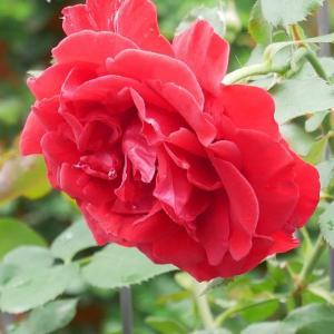 消毒についてのまとめ 水和剤の量り方と庭のバラ