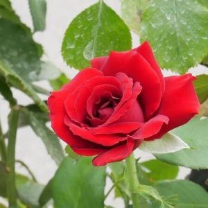 クレマチスとアジサイの挿し木の鉢上げ、バラの消毒