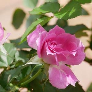 バラの香りに誘われて