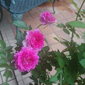 台風が過ぎ去ってほっと一息 庭のバラとDIY