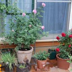 今日の庭とミニトマトの収穫